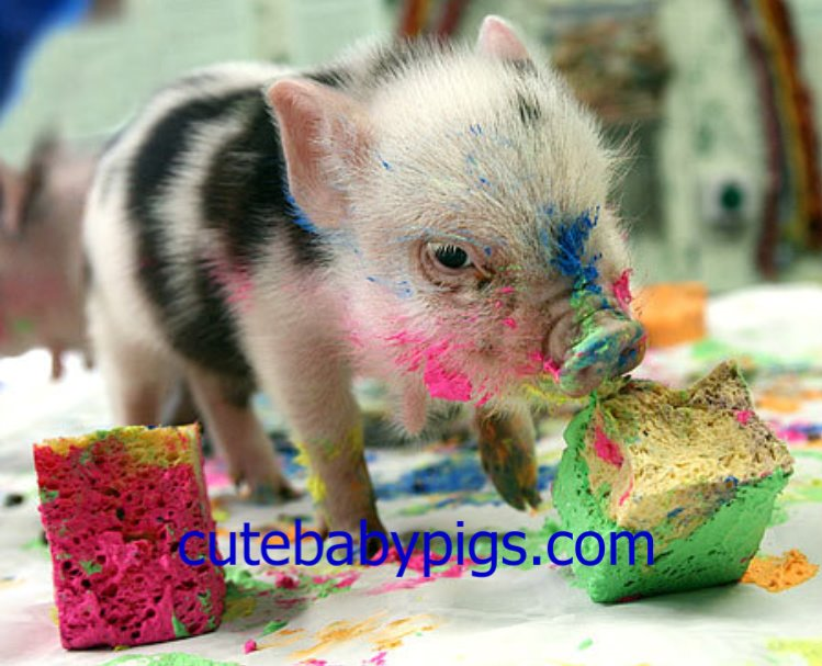 Baby pig eating cake - photo#3