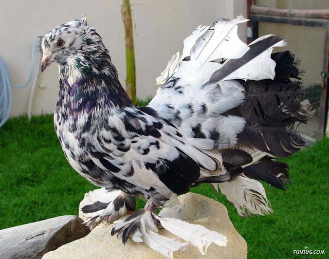 Sporting Pigeons Flying