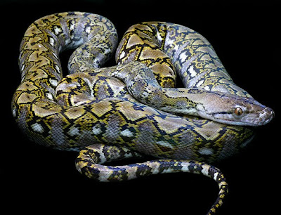 Kayaudi Dwarf Reticulated Python Snake All About Snake
