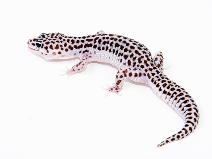 Images of Snow Leopard Gecko - #rock-cafe