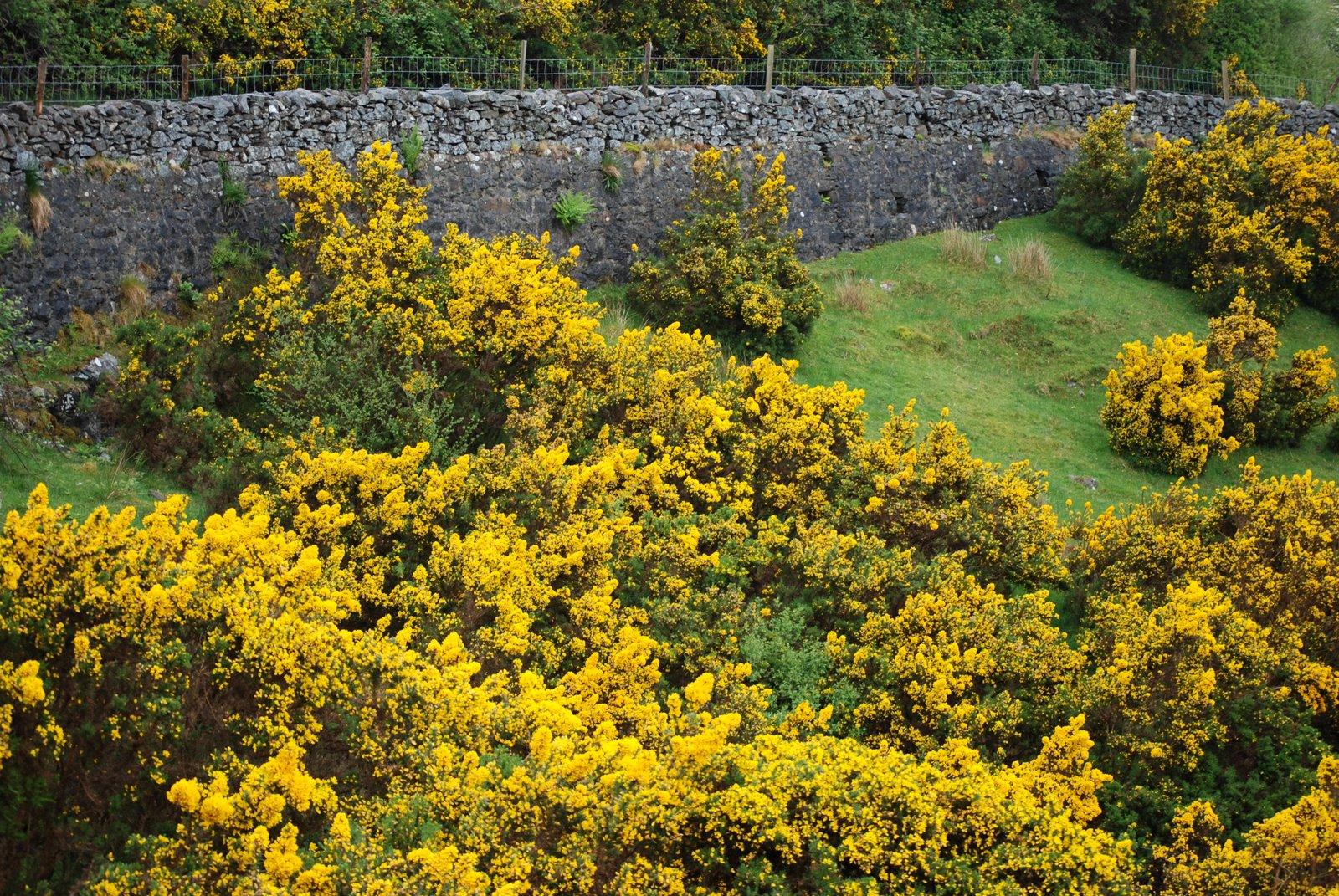 golden-yellow gorse, or furze, bushes in Ireland