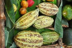 Cacao (eriotropus)