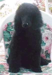 Il mio amico cane barbone for Cane barbone