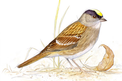 golden crowned sparrow by wildlife artist Shari Erickson