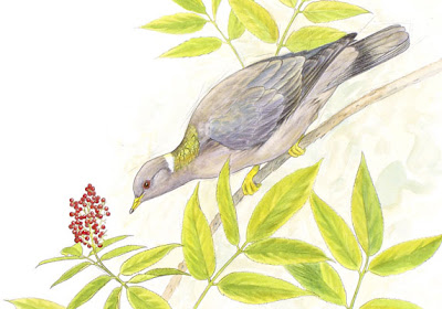 band tailed pigeon and elderberry painting by wildlife artist Shari Erickson