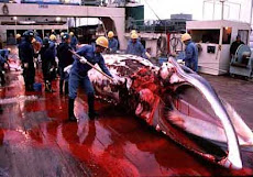 "Stopping the Japanese <br>""Research"" Whaling <br>in our Antarctica!"