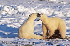 "Endangered Polar Bears: Welcoming the ""Oil Shock""  Why?"