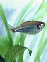 ryb akwariowych danio