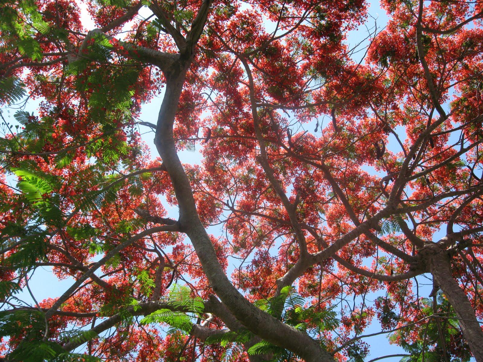 Lynn Sarda: Flowering Trees, Pine Island, June