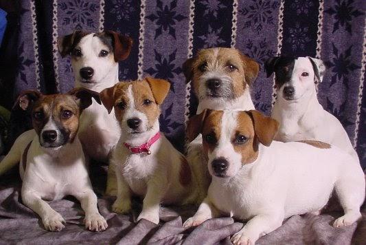 De Ce Parul Meu Jack Russell Terrier Pășește? -