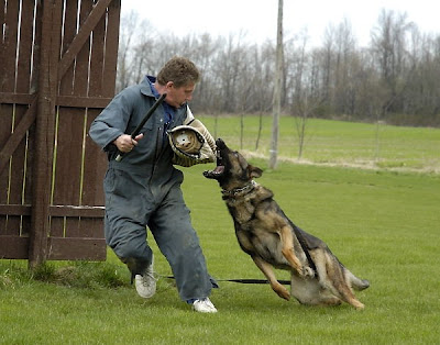 German Shepherd Dogs with correct traits German Shepherd Dogs in Schutzhund sports of Schutzhund test desirable characteristics of the German Shepherd Dogs Schutzhund qualified dogs German Shepherd Dog breed to test