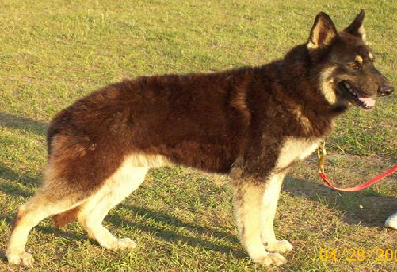 Liver German Shepherd Dog