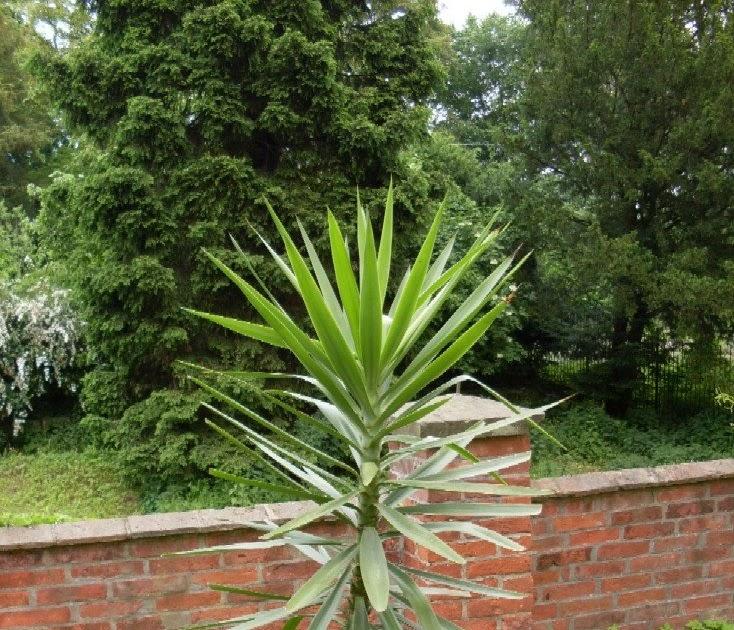 garten anders eine yucca palme ist ideal f r den garten. Black Bedroom Furniture Sets. Home Design Ideas