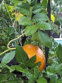Pumpkin in a sling Cave Junction Orego