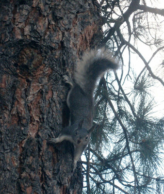 Abert tassel-eared squirrel Flagstaff KOA Arizona
