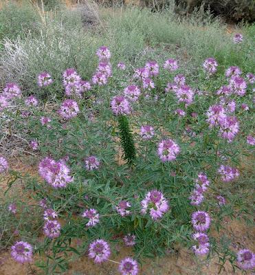 Bee plant Coral Pink Sand Dunes State Park Utah