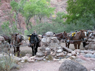 Mules Phantom Ranch Grand Canyon National Park Arizona
