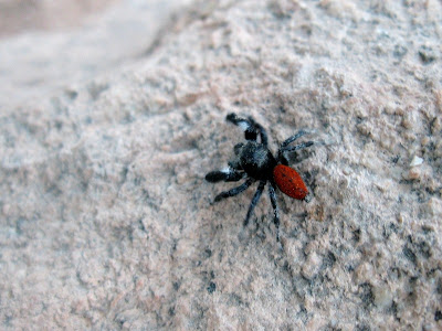 Johnson Jumper spider Grand Canyon National Park Arizona