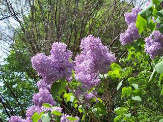 photo of lilacs near Bussey Hill in the Arnold Arboetum