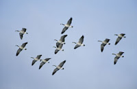 geese ii