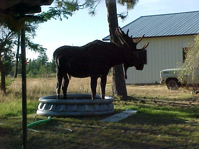 [moose_in_lincoln_mt_001]