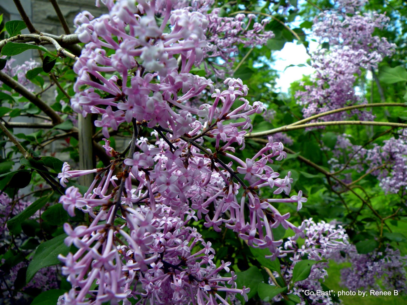 Lilac Tree 1 2 Types Facts See Pictures