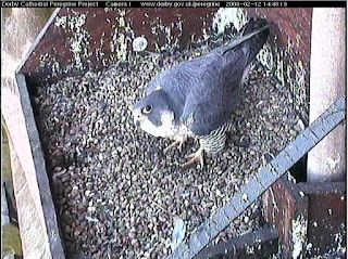 The much larger female will move over to inspect the scrape after the male has finished his head-bowing display and has flown off. Click inage to enlarge.