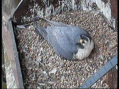 Female peregrine incubating her four eggs. Click to enlarge picture.