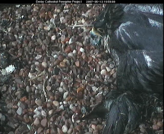 Our female keeps her two chicks dry during stong easterly wind and rain, but is sodden herself. The wet object at the bottom of the picture is a prey item, not a chick! Click image to enlarge