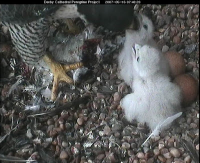 The chicks get a breakfast feed on Wed 16th May at 07:48am. Click image to enlarge.