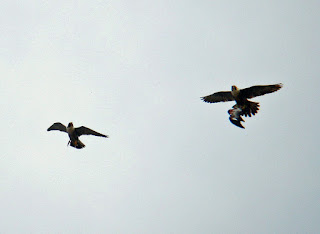 Adult female takes prey from male in mid-air. Photo courtesy of J.Salloway. Click to enlarge image