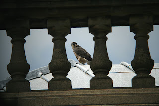 First fledgling on the nave rook of the Cathedral Saturday 23rd. Click to enlarge. Photo J.Salloway.