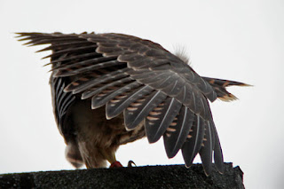 Juvenile doing a bird-of-paradise impersonation on a Derby roof. Photo I.Forrest