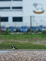 Lapwing at The Sanctuary with football ground behind. Photo S.Whitehead