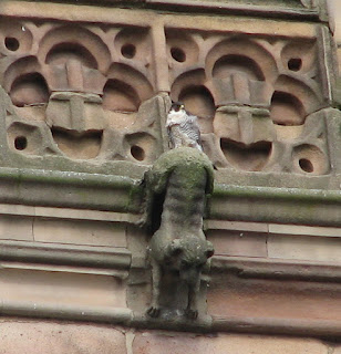 Adult female peregrine on tower top.