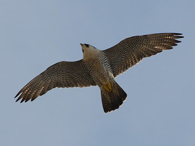 Adult in flight over Derby, July 2007. Photo Roger Lawson. What else would you like to see this project achieve next year?