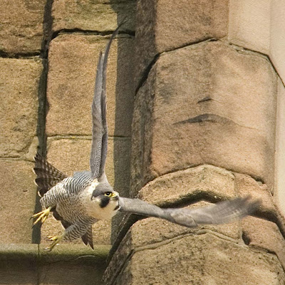 Peregrine - adult female on Derby Cathedral. Photo by Graham Whitmore.