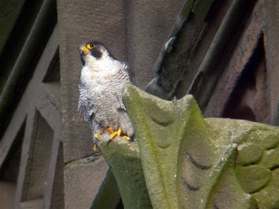 Adult male peregrine falcon. Photo J Salloway