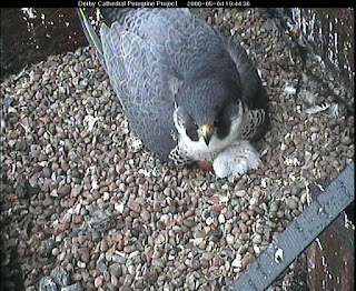 Mum settling down to brood
