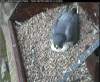 Image of female peregrine Tuesday 14 April 10:30am