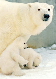 polar bear gestation