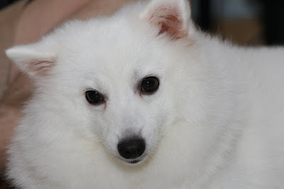 My family pet, a Japanese Spitz