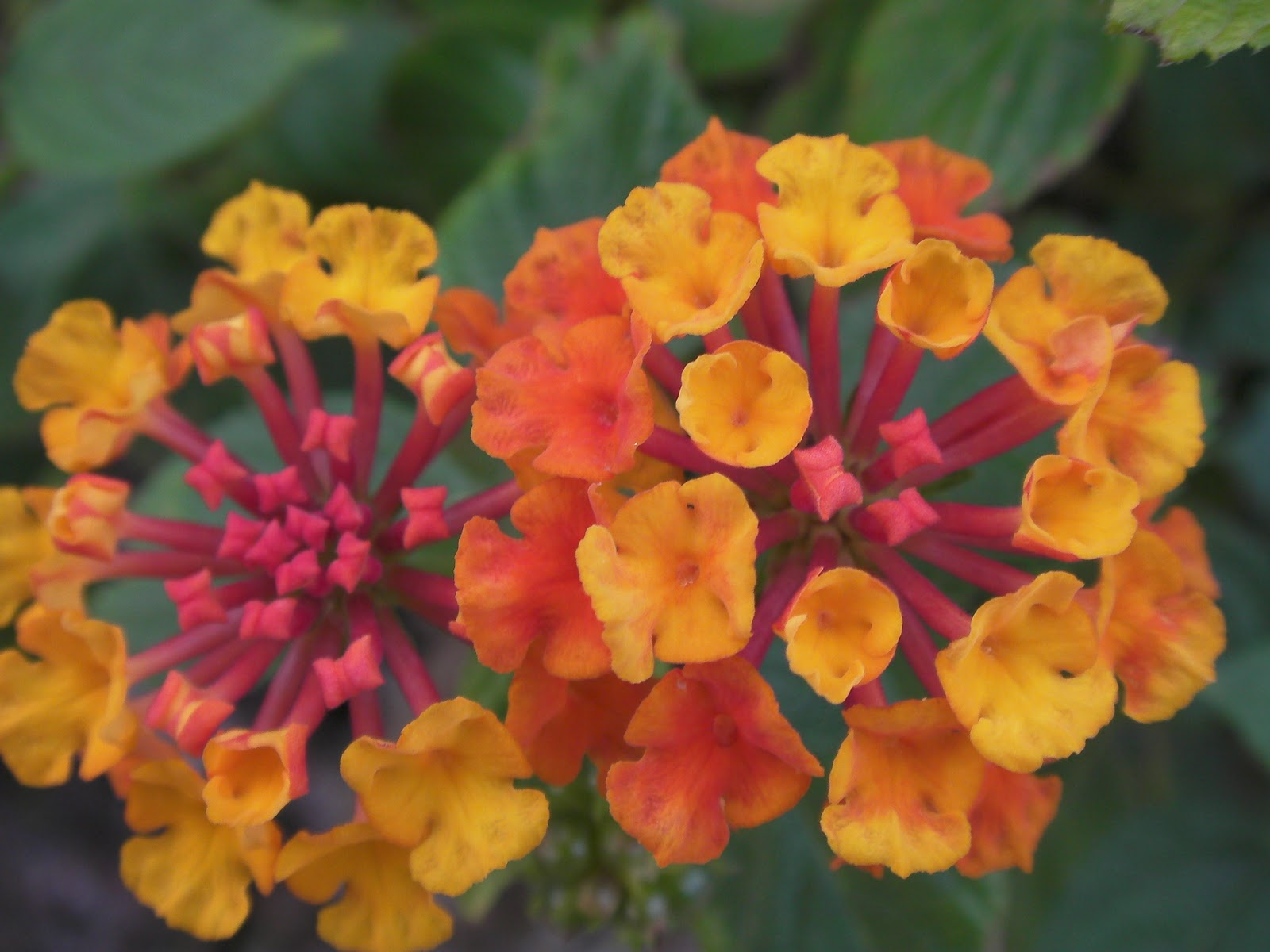 Tropical Island Flowers: Small Vege Garden In A Suburb: Tropical Flowers In