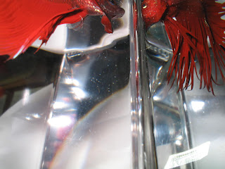 betta and crowntail betta