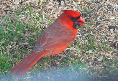 Les oiseaux des comt s unis de prescott russell stormont for Fenetre a cardinal