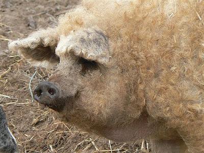 Encuentra en China un tipo de cerdo que podía valer b5d755dbaa90
