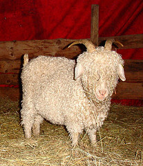 La Ferme de Sourrou hardworkinghippy's favourite Angora goats
