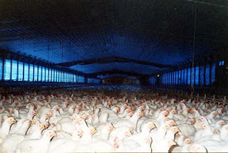 The reality of life in commercial broiler chicken unit