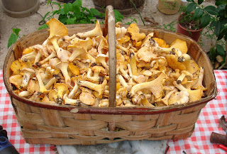 Foraging basket full of Chanterelles or Girolles