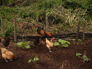 Chickens weeding, no dig gardening